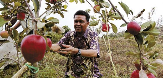 Panen apel Roombeauty didaerah Pengambangan Agrowisata